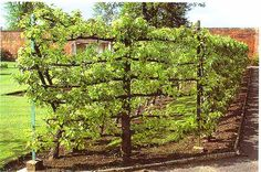 'Espalier' refers to the training of a plant or tree to grow flat against a wall or trellis.