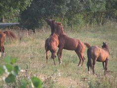 Spelende paarden in een weiland in Beusichem