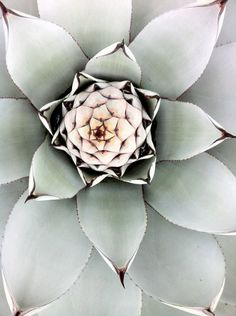 incredibly beautiful succulent ~