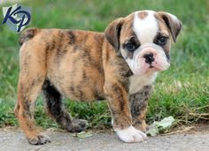 Michelle – English Bulldog Puppy www.keystonepuppies.com  #keystonepuppies  #englishbulldog