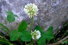Lehtiä, nuoria latvuksia ja kukintoja kerätään alkukesällä. Lehdet kerätään ennen kukkimista ja kukinnot kukkien avauduttua. Lehdet ja kukinnot irrotetaan tai leikataan kokonaisina. Kuivaamisen jälkeen lehdet ja kukinnot voidaan irrottaa musertamalla.  Käyttö:  Apilan maku on pehmeän mieto ja hunajainen. Kukinnot sopivat yrttijuomaksi. Kukinnot ja lehdet sopivat mm. keittoihin, muhennoksiin, pannukakkuun ja leipään.
