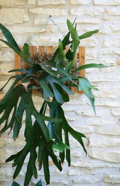 At a garden club raffle, I won a staghorn fern that had lost its mounting board. Really nice plant but definitely bare root. I put it in a pot, but it...