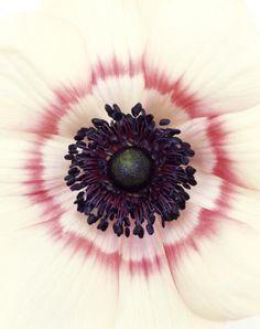 Anemone Coronaria, 2005 by Ron van Dongen
