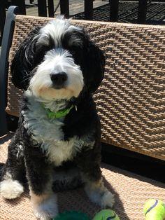 Truffle Bernese Mountain Dog Poodle, Mountain Dogs, Mini Bernedoodle, Bernadoodle, Truffles, F1, Chihuahua, Puppies, Animals