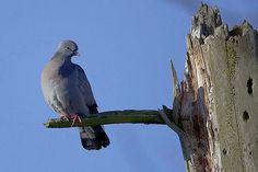 Uldukas/Columba oenas/Stock Pigeon/Die Hohltaube/Le Pigeon colombin