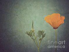 """California poppy"" by Cindy Garber Iverson"