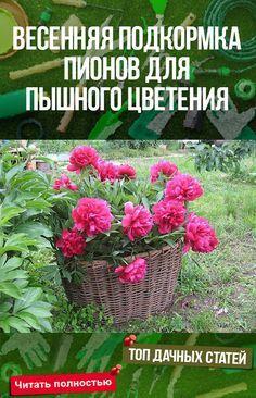 Весенняя подкормка пионов для пышного цветения #сад #огород #дача #растения