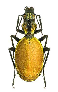 Graphipterus cicindeloides