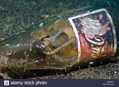 Stock Photo - Veined Octopus or Coconut Octopus (Octopus marginatus) hiding in an old Coca Cola bottle, Indonesia, Asia