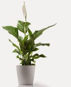 Canto do Feng Shui: Plantas para Pouca Luz