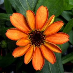 First ever flower grown in space makes its debut! #SpaceFlower #zinnia #YearInSpace  #flower #gardener #space #spacestation #iss #science #issresearch