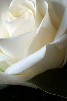 Romantische close-up van een witte bloeiende roos. ♦ Romantic closeup of a white flowering rose. A sweet and delicate image through the soft petals. Love Rose, My Flower, Pretty Flowers, White Flowers, Red Roses, Birth Flower, Colorful Roses, Photo Fleur Rose, Shades Of White