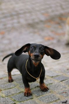 doxie cuteness!