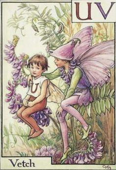 Vetch fairy