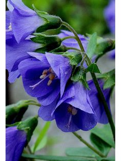 Polemonium reptans (Greek Valerian, Jacob's Ladder)   Hardy to -40 ° F (USDA zones 3a to 7a; wet-mesic to medium dry soil in sun or part-shade.