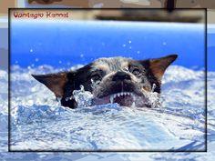 Oggi ci è arrivata la foto di una grande prova d'attore, una magistrale interpretazione di una nostra cucciola siamo orgogliosi di presentarvi Vanilegio Charisma in Il ritorno dello SQUALO / Today we received a photo of a great actor's performance, a masterful interpretation of one of our puppies We are proud to present Vanilegio Charisma in The return of the SHARK / Allevamento Australian Cattle Dog Vanilegio www.vanilegio.it