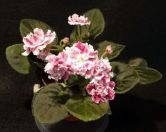 frosty cherry african violet - Google Search