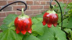 Diese rundliche Glockenblume wurde aus einer Kugel geformt. Hellgrün und Rot harmonisieren hier miteinander.  Für das Gartenbeet oder in den grünen Blumenkübel als Hinkucker sehr...
