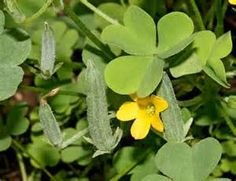 """Wood sorrel may be growing in your garden.  It looks like a small clover with yellow flowers; low growing and liking shady parts of your garden.  In summer it produces """"pickles,"""" or seed pods (that look like tiny pickles.)  The whole plant can be used by cutting and brewing as a tea.  It has some pain relieving properties and is great for stimulating stomach digestion thus is helpful for heartburn and mild liver problems. - See more at…"""