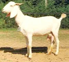 Surti goat farming is common and popular business in India. It is among the top Indian dairy goat breeds and it is raised mainly for milk production purpose. And it is a very important breed of domestic goat in India. Indian Goat, Goat Picture, Farming System, States Of India, Goat Farming, Baby Goats, Creature Comforts, Livestock, Creatures