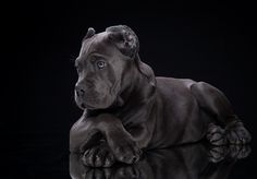 Cane Corso puppy by Tanya Kozlovsky - Photo 78243615 / Chien Cane Corso, Cane Corso Mastiff, Cane Corso Dog, Cane Corso Puppies, Mastiff Puppies, Black Cane Corso, Big Dogs, I Love Dogs, Dogs And Puppies