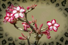 Impala Lily plant in Limpopo