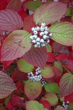 Cornus alba 'Sibirica'. Autumn colour and berries followed by winter stems.