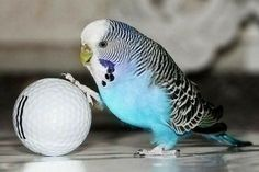 Here you can compare Parrot vs Parakeet and know who going to win the fight between them. Read this article to know comparison, difference and similarity between Parakeet vs Parrot. Budgie Toys, Parakeet Toys, Bird Toys, Parrot Pet, Parrot Toys, Cute Birds, Exotic Birds, Beautiful Birds, Pet Care