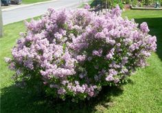 If you have a lilac bush or access to one and would like to make more lilac bushes for free instead of paying a good price for one, then here…