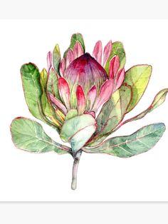 Protea Flower - Botanical Art Canvas Print