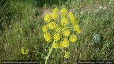 Thapsia villosa  (Umbeliferae). Zumillo, cañaeja hedionda o candileja. hierba vivaz de tallos erectos de hasta 2 metros de altura y raiz napiforme. Florece en mayo-junio