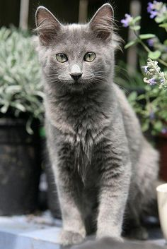 Russian Blue Cats Long Hair Nebelung - With the launch of the Litter-Robot 3 Connect in Grey, we decided to pay homage to the cool new shade by highlighting a variety of grey cat breeds. Blue Cats, Grey Cats, Grey Cat Breeds, Cats Wallpaper, Nebelung Cat, Image Chat, Beautiful Kittens, Beautiful Cat Breeds, Long Haired Cats
