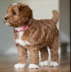 Labradoodle puppy | Caramel and White color