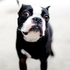 Boston Terrier Puppy Dogs