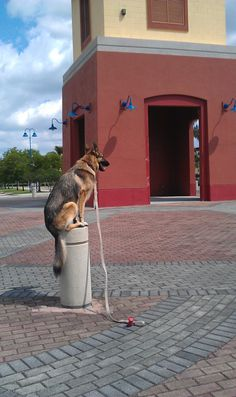 """GSD-Coco """"Perched"""" at the entrance of the Central Broward Regional Park after the BigCardio 2015 event."""