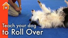 """Learn how to teach your dog to roll over in a few easy steps! Thanks to Stephen McKay and """"Scorch"""" the Border Collie from Port Chester Obedience Training Clu..."""