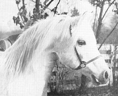 pixels Foaled 1926 GSB AHR Gray Stallion Bred by Crabbet Arabian Stud Imported by Roger Selby in 1932 Beautiful Arabian Horses, Pretty Horses, Arabian Stallions, Horse Ears, Horse Breeds, Thoroughbred, Horse Racing, Photo Galleries, Creatures