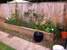 Raised Bed With Espalier Pear Developing Nicely
