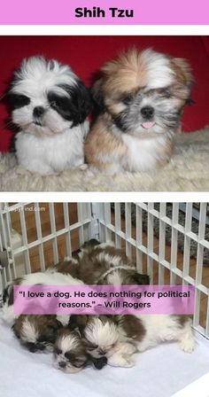 """See our internet site for additional information on """"shih tzu pups"""". It is an excellent spot to learn more. Baby Shih Tzu, Shih Tzu Puppy, Shih Tzus, Puppies And Kitties, Doggies, Purebred Dogs, Losing A Dog, Dog Names, Cute Dogs"""
