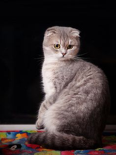 lele- Scottish Fold cat | Flickr - Photo Sharing!