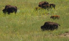 As will watching the buffalo graze: Valentine National Wildlife Refuge