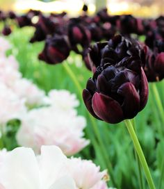 Beautiful Flowers, Black Tulip Flowers, Black Tulips, Black Flowers, Flowers, Daffodils, Moon Garden, Flower Field, Backyard Farming