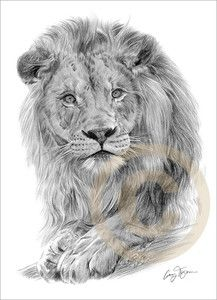 AFRICAN LION Art Pencil Drawing Print A4 signed Edition artwork | eBay