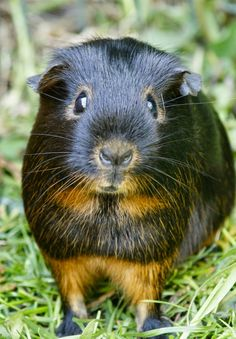 The Guinea Pig Daily: Pip - look at that sweet face!