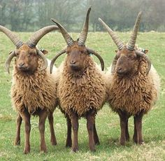 Rare Manx Loaghtan sheep--The word Loaghtan comes from the Manx words lugh dhoan which means mouse-brown and describes the colour of the sheep.This breed is primarily raised for meat which is considered a delicacy.