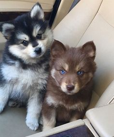 Siberian Huskies headed to the park