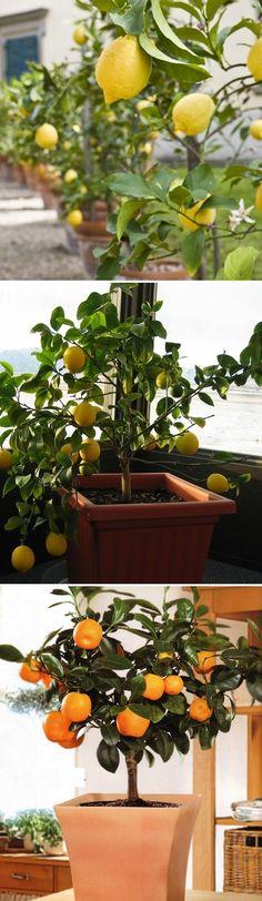 The most popular dwarf citrus trees in containers - Calamondin, Kaffir Lime, Meyer lemon, Minneola Tangelo, Dwarf Bearss Seedless Lime, Owari Satsuma Mandarin Orange