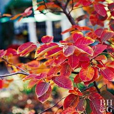Lawn and Garden Tools Basics Serviceberry Amelanchier Gets Full Marks For Spring Flowers, Summer Fruit, And Fall Color. The Foliage Begins Yellow And Changes To Shades Of Deep Orange And Red. Plant This Small Tree In Full Sun.