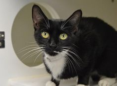 """LYKKE - A1082412 - - Manhattan ***TO BE DESTROYED 08/08/16***To know LYKKE is to LOVE LYKKE! This SWEET female cat with the tuxedo coloring and big green eyes is tiny and gentle! LYKKE is 11 months old and was found as a stray. LYKKE is a little less than 5 pounds. She needs some fattening up and some TLC! LYKKE hides her head in a corner, but soon calms down and likes being pet. A volunteer writes: """"Lykke is another slightly shy girl currently residing in the cat adopti"""