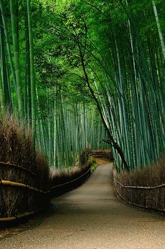 Path of Bamboo in Arashiyama / 竹林の小径(嵐山)